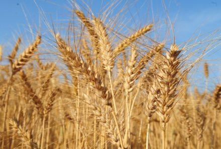 Comissão aprova prioridade ao trigo brasileiro em compras do governo