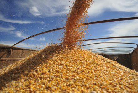 Colheita de milho em Mato Grosso chega a 12,83% da área