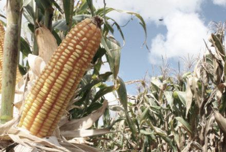 Decepção para o trigo, lamento para o milho