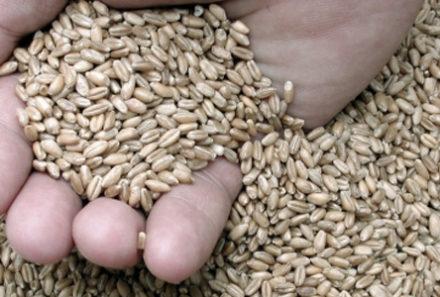 Estudo indica cultivares de trigo mais produtivas em sete regiões do Estado, entre elas Vacaria